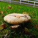 Milk cap mushrooms, Ring Road