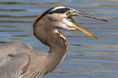 Great Blue Heron Fishing-42