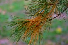 Pine Needles