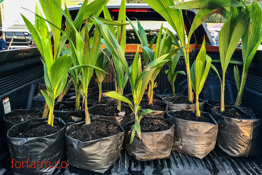 ปลูกมะพร้าวน้ำหอม ให้ต้นเตี้ย ลูกดก ออกผลทั้งปี