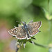Large Grizzled Skipper (Pyrgus alveus)