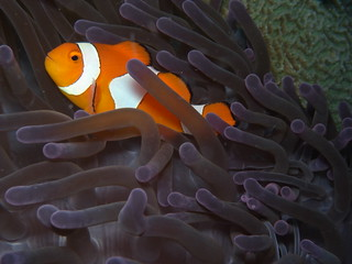 False clownfish-ocellaris amphiprion