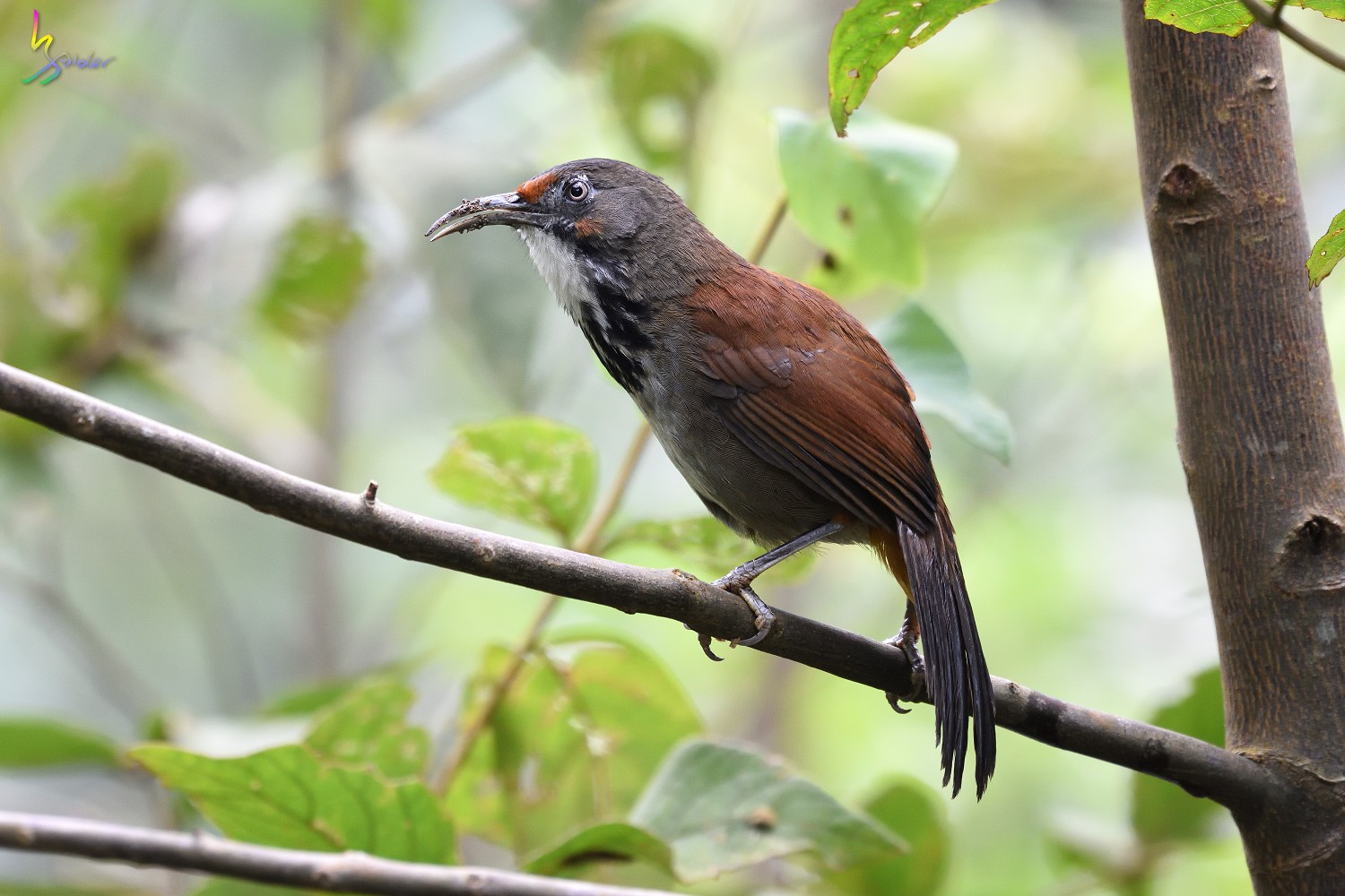 Rusty-cheeked_Scimitar_Babbler_1776