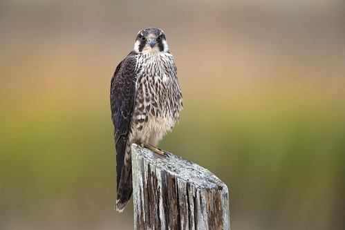 falcocolumbarius merlin