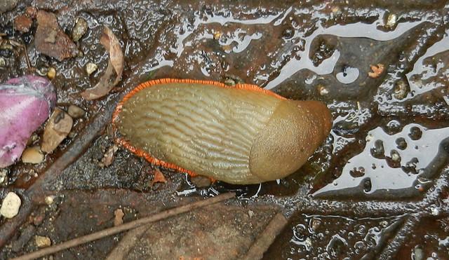 Arion ater slug 02