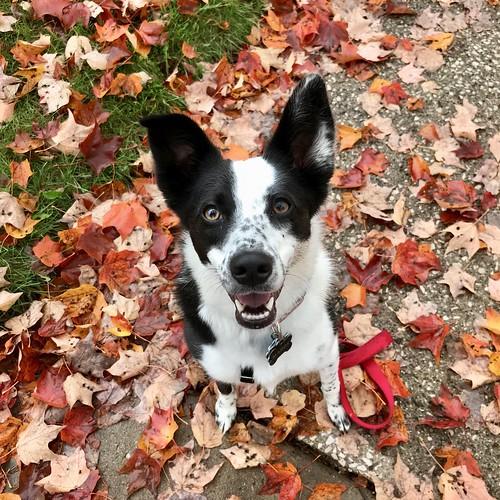 fall feels #doglife #dogsinleaves #bordercolliemix #bordercollie #greatlakesbordercollierescue #glbcr