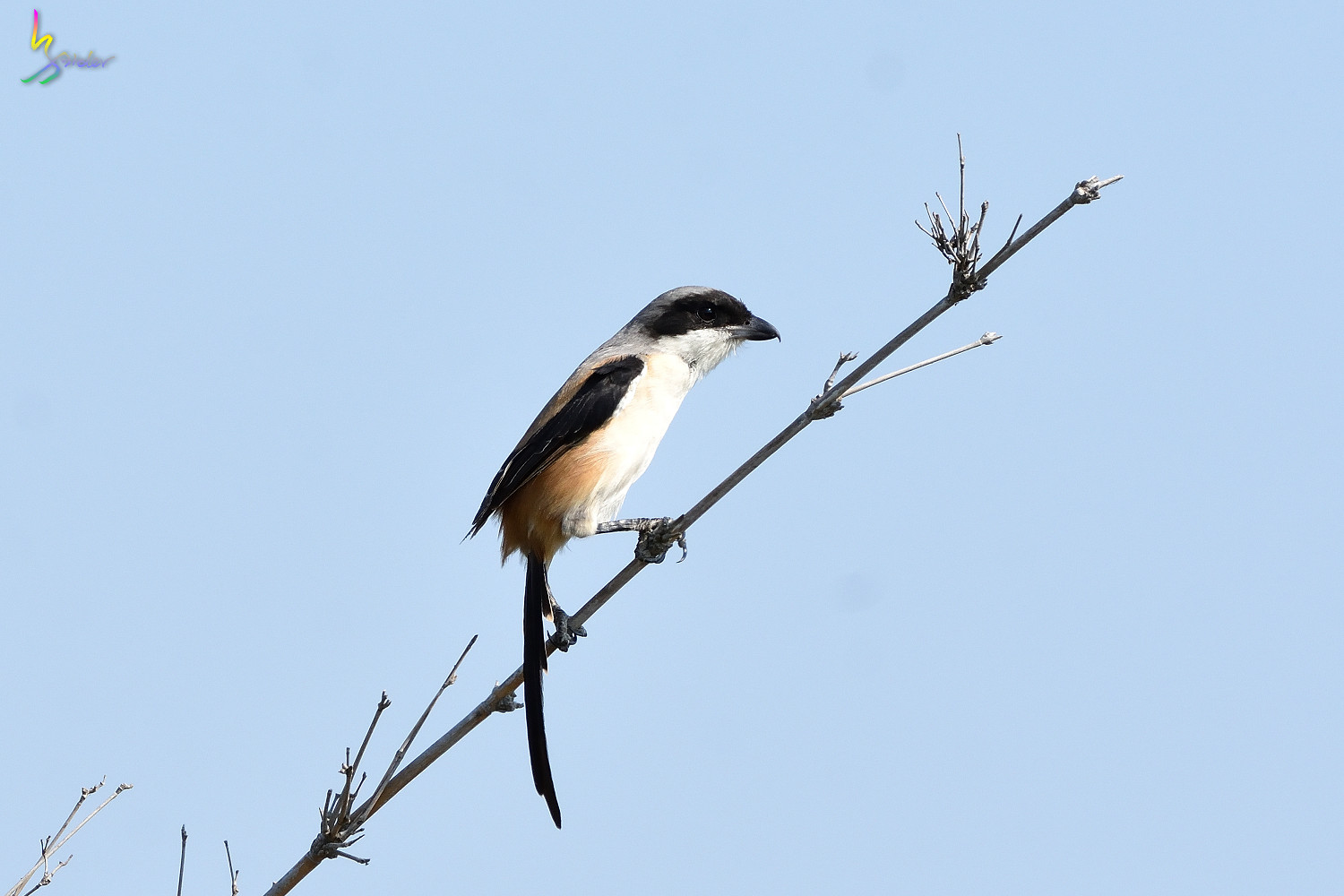 Long_tailed_Shrike_9071
