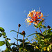 Blue sky honeysuckle