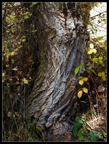 Ecorces d'arbres  - Page 4 37018592333_eccd7ceff0