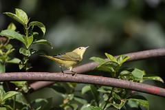 1DXB7058 Yellow Warbler