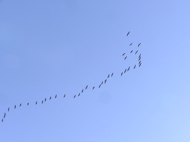Migrating Water Fowl