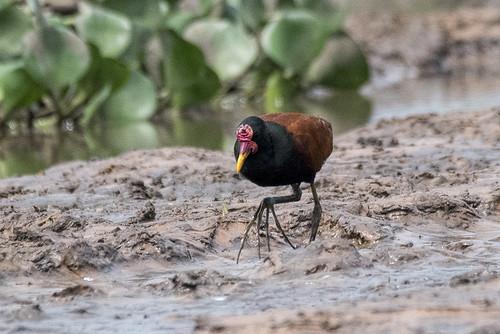 Pantanal: Wattled Jacana