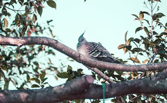 Snoozy Pigeon