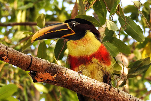 Pantanal: Chestnut-eared Aracari Close-up