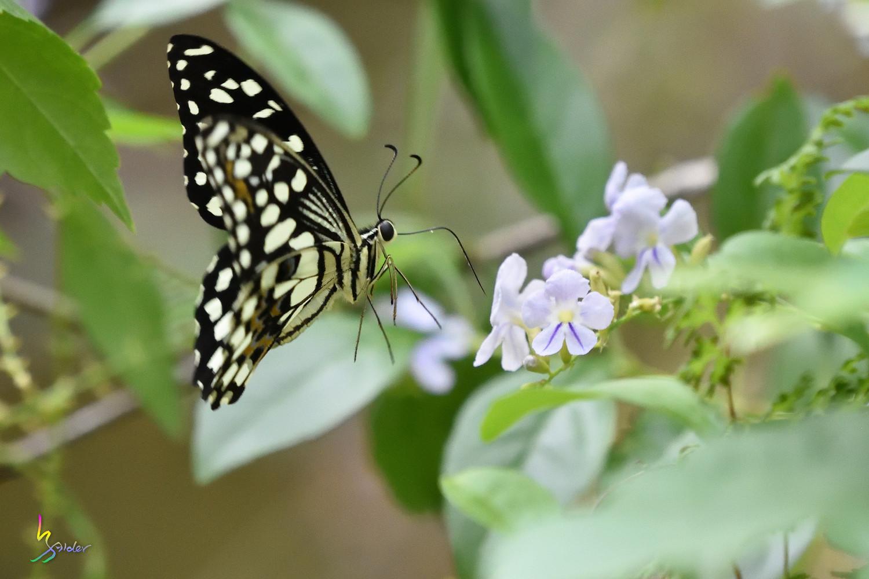 Butterfly_2503