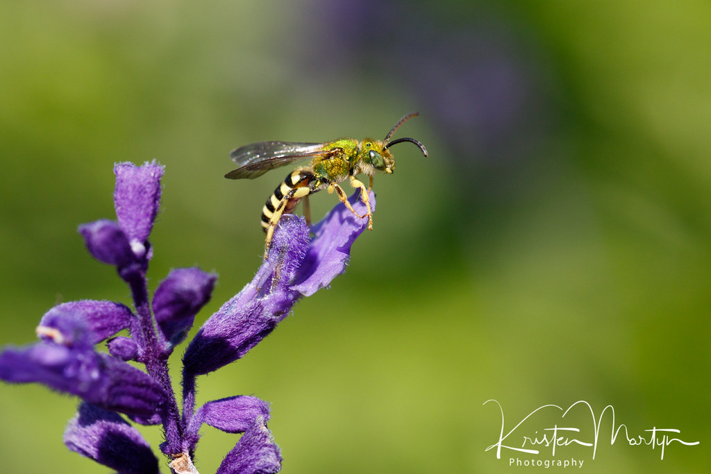 Green Sweat Bee (Agapostemon virescens)