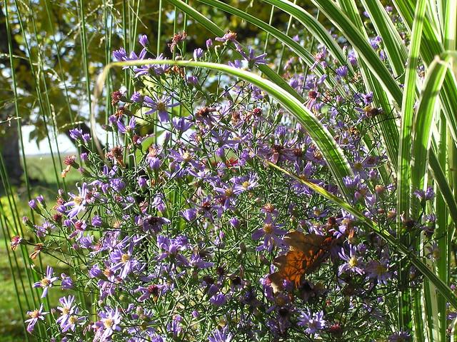 Aster 'Little Carlow' & Miscanthus sinensis 'Vareigatus'