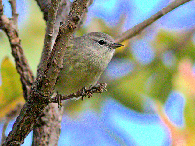 Orange-crowned Warbler 07-20171005