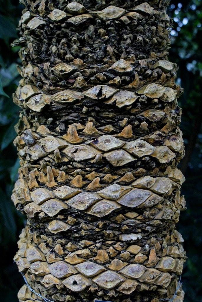 Cocotier crocodile au jardin botanique de Glasgow. Cette variété n'existe pas encore de manière officielle.