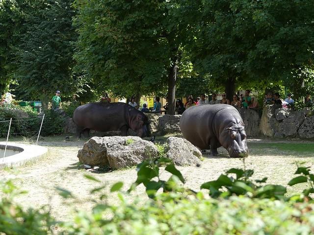 Flußpferd, Tiergarten Schönbrunn