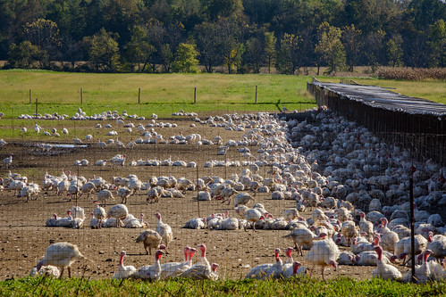 indiana waynecounty agriculture bird fall flock fowl harvest rural turkey waynet exif:aperture=ƒ14 geocountry exif:make=nikoncorporation geocity geostate exif:isospeed=250 exif:model=nikond7100 exif:lens=tamronaf16300mmf3563diiivcpzdb016n geolocation camera:model=nikond7100 exif:focallength=185mm camera:make=nikoncorporation