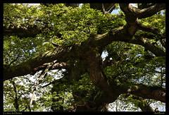 Le Chêne des Hindrés en Brocéliande - Photo of Saint-Maugan