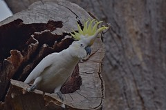 Sulphur - crested Cockatoo