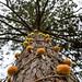 Dahlias up a tree