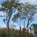 Cedrela odorata trees