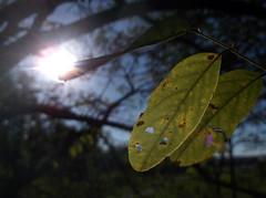 Focus Leaf