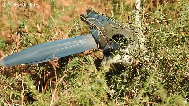 Pega-azul; Charneco // Iberian Magpie (Cyanopica cooki)