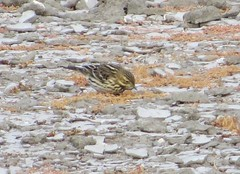 Red-throated Pipit, in Irvine (Orange Co.), CA