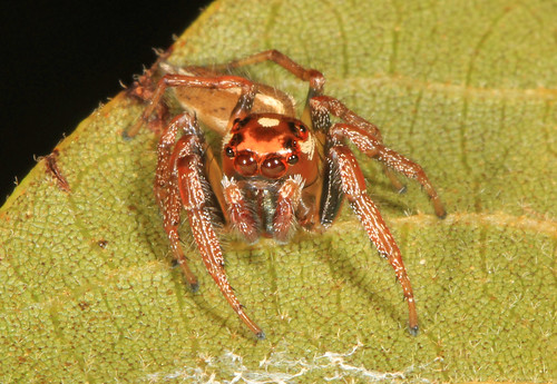 Arachtober 17 #1 - Jumping Spider - Colonnus sylvanus, Carolina Sandhills National Wildlife Refuge, McBee, South Carolina