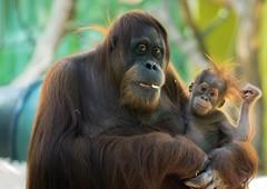 Orang-Utandame Sitti mit ihrem Nachwuchs