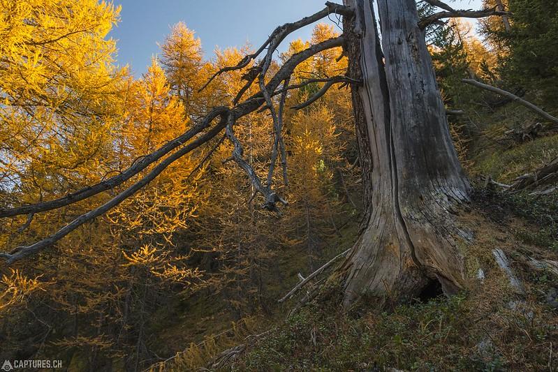 Old tree - Murtaröl