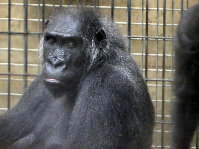 Gorilla Kathie, Zoo Hannover