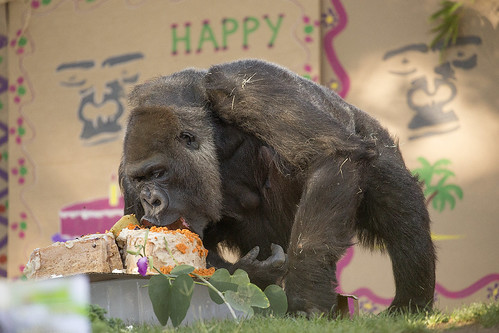 World's Second Oldest Gorilla Celebrates Her 60th Birthday with 1-year-old