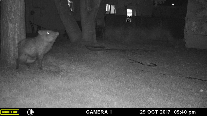 javelina_front_yard_scent_marking-20171029-101