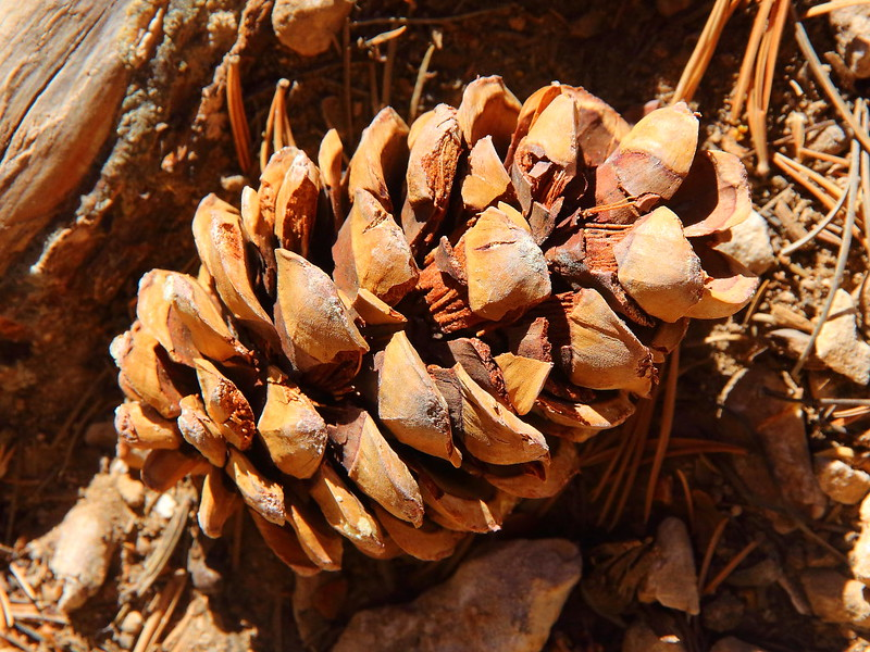 IMG_8074 Limber Pine Cone