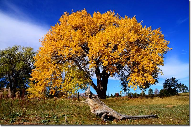 2017 Maple in Fall, Boulder, Colorado  (26)