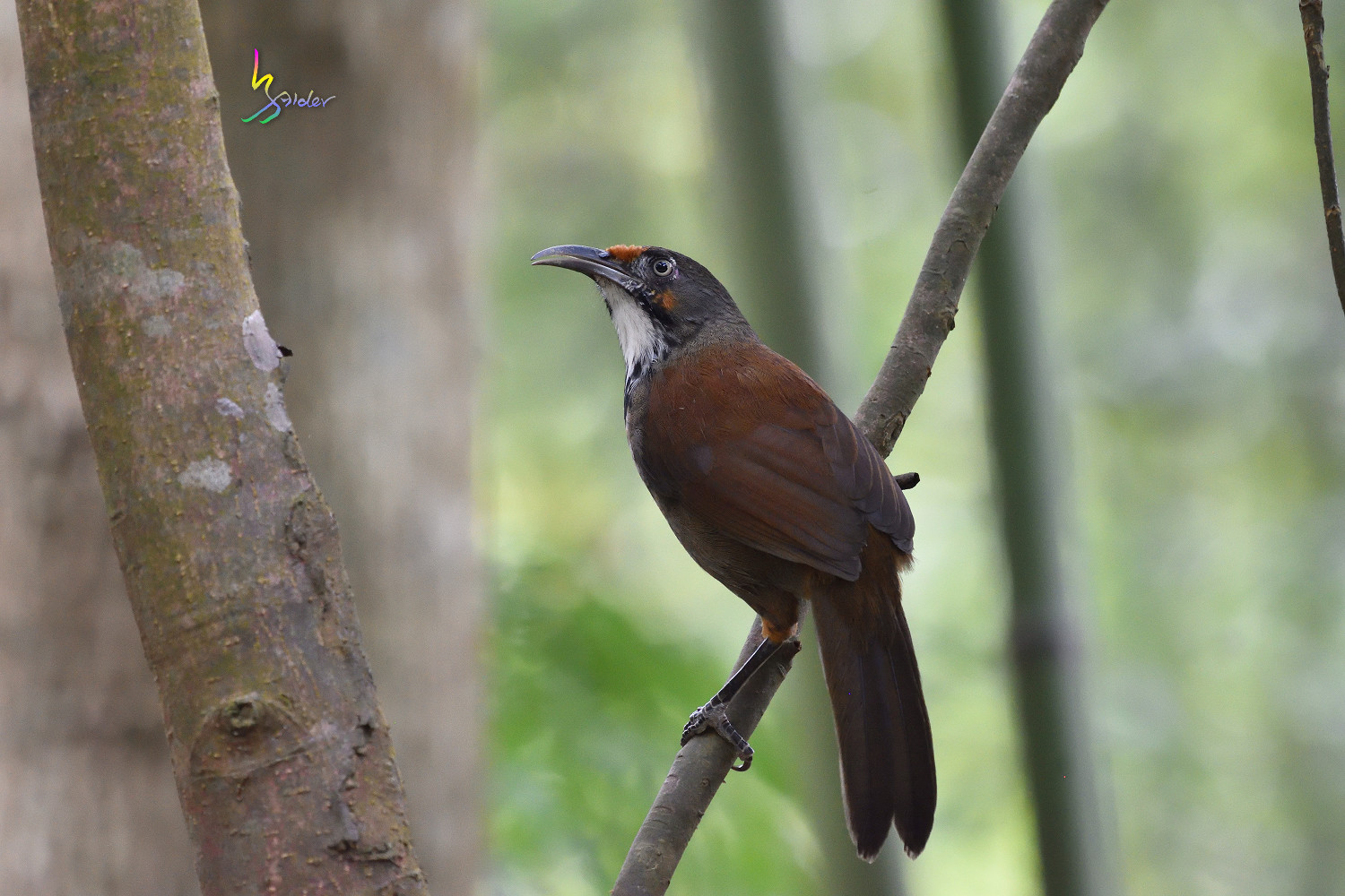 Rusty-cheeked_Scimitar_Babbler_2025