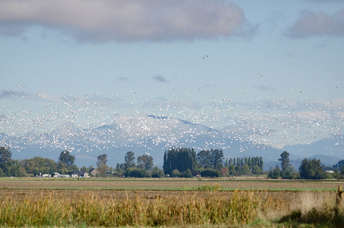 Snow Geese in the Skagit Delta-008