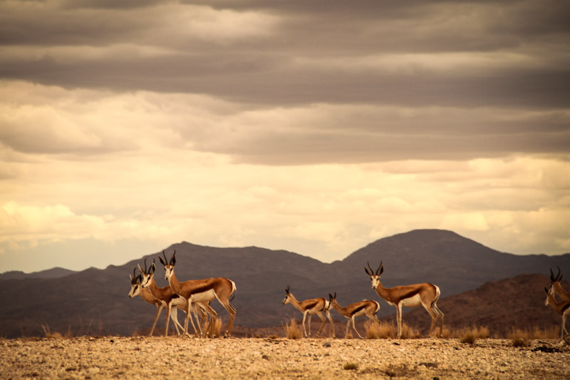 Springböcke-Nambia-Afrika-Farm