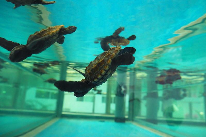 名古屋港水族館ウミガメの子供