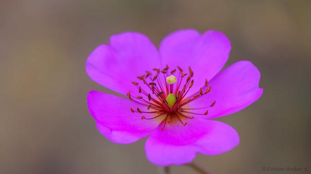 Flor de la pata de guanaco (Calandrinia longiscapa)