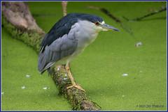 Black-crowned Night Heron 0681