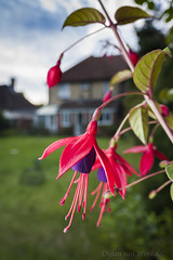 Fuchsia sp. (UK)