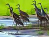Sandhill Cranes by suzi54241