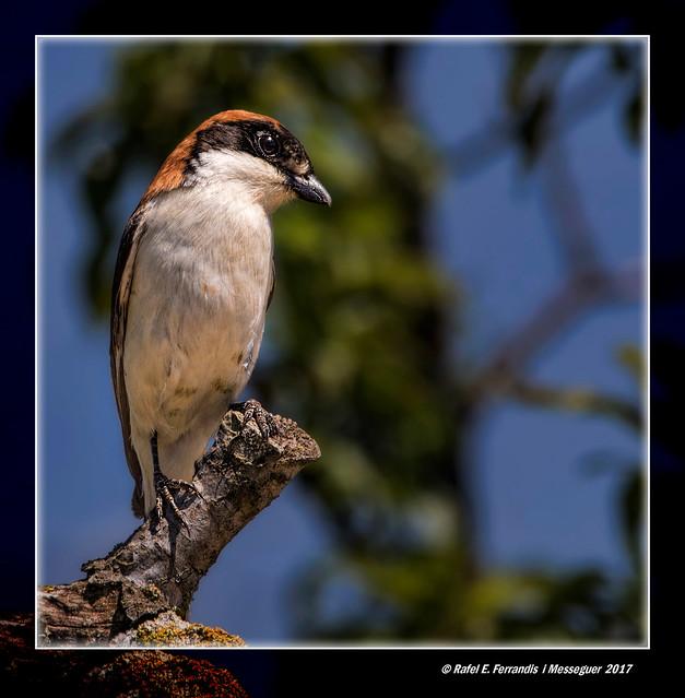 Capsigrany o capsot 12 (Lanius senator) Woodchat Shrike (Benicolet, la Vall d'Albaida, València, Spain)
