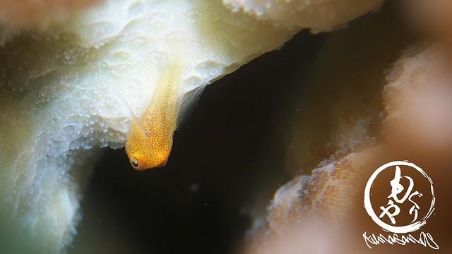 カサイダルマハゼ幼魚ちゃんは全然こっち見てくれないw